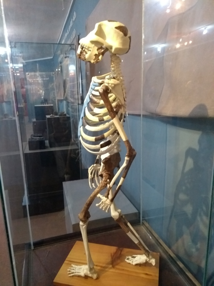 Standing Lucy skeleton in the National Museum of Ethiopia