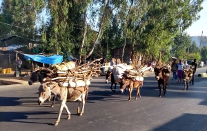 donkeys carrying wood on the way to market from Gondar