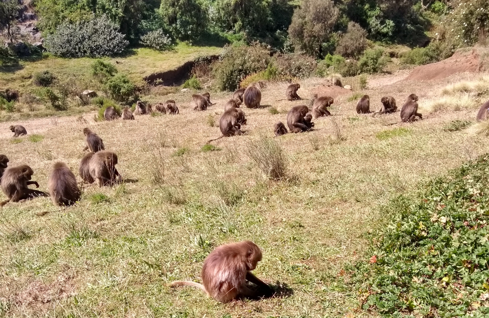 troupe of gelada monkeys sitting in the grass