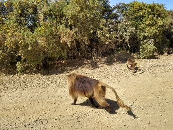 miniature lion-monkey