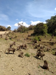 troupe of gelada monkeys