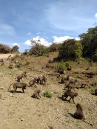 troupe of gelada monkeys