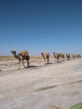 camel caravan danakil